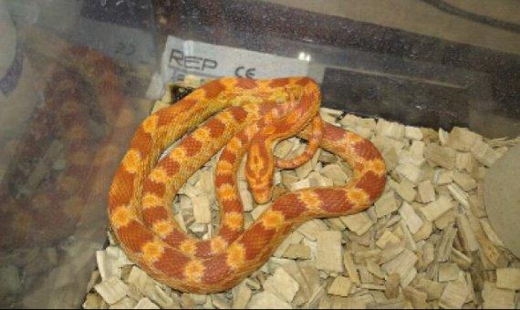 serpent complet