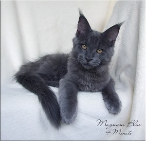 maine_coon_blue