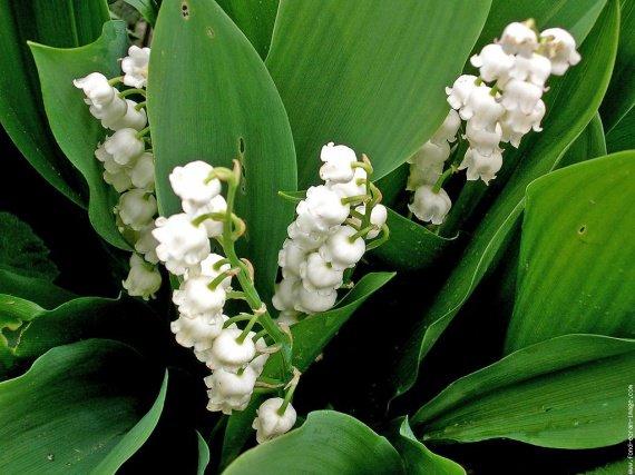 galerie-membre,fleur-muguet,muguet-du-jardin-1er-mai-dscn5543