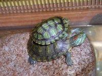 a dada sur la tortue