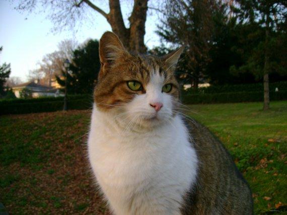 le chat Pitou