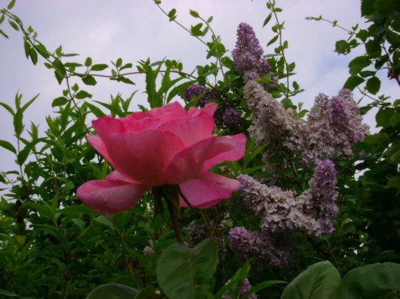 rose et lilas dans mon jardin,saison paiculière 08