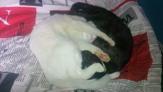 Le Yin et le Yang version chat