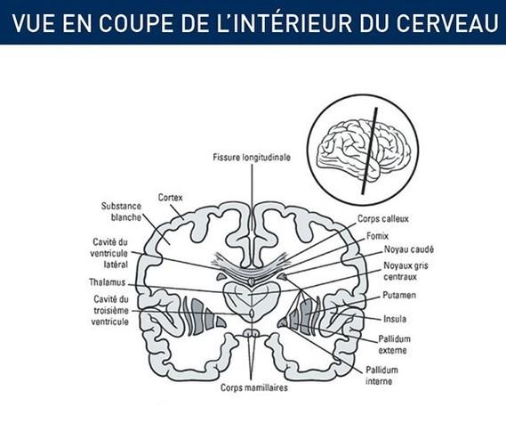 cerveau-vu-intrieur