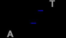 220px-Base_Pair_AT_Hydrogen_Bridge_V-1-svg