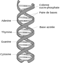 220px-DNA_structure_and_bases_FR-svg