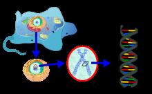 Eukaryote_DNA-fr-svg