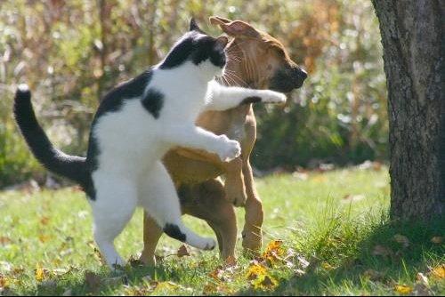 combat-chat-chien