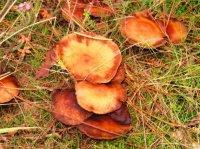 cueillette-de-champignons-104