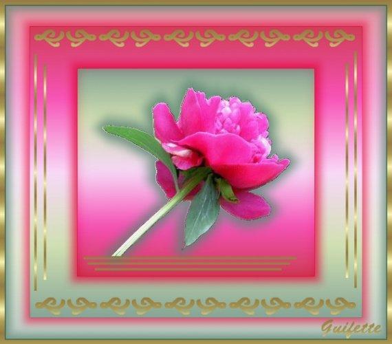 rose rose dans un cadre doré