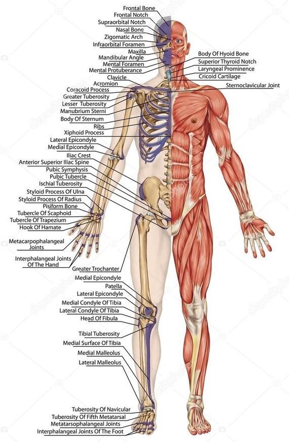 depositphotos_60812117-stock-photo-anatomical-body-human-skeleton-anatomy