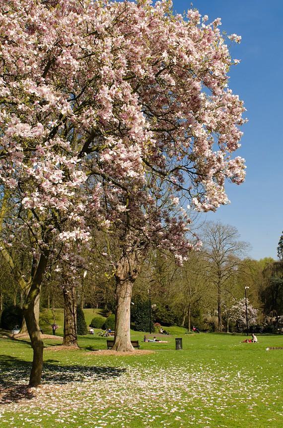 ce magnolia perd ses fleurs au gré du vent