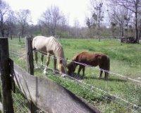 le cheval et le poney