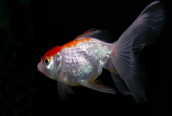 Poisson japonais poissons 9091c2t650 animaux en for Poisson japonais nourriture