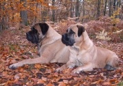 chiens beaux
