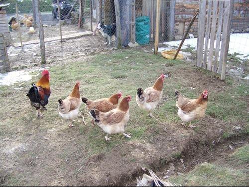 poule pondeuse sans coq