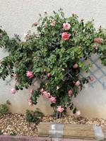 rosier papi  delbart