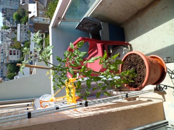 Un plant de tomate cerise page 2 jardinage forum - Plant de tomate cerise ...