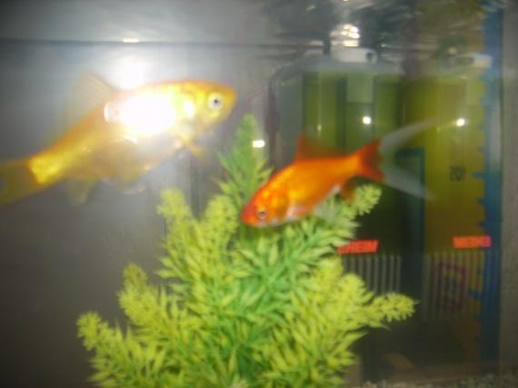 2 poissons rouges dans un 20 litres help aquariums et for Aquarium 20 litres pour poisson rouge