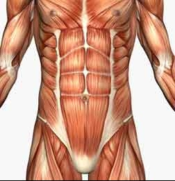Muscle-anatomy