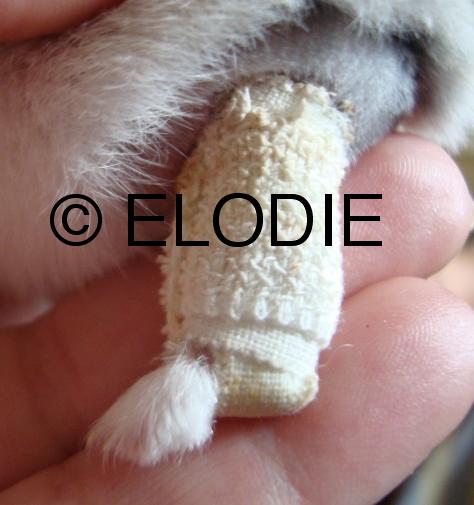 Plâtre (hamster russe)