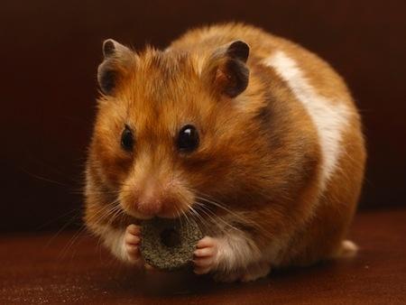 Hamster syrien