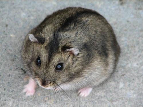Le hamster fiche hamsters cochons d 39 inde lapins - Hamster russe panda ...
