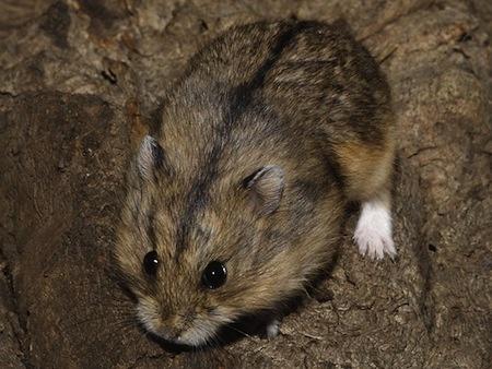 Hamster de Campbell