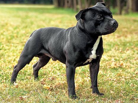 StaffordshireBullTerrier