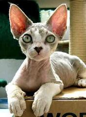 chat-devon-rex