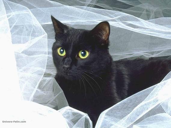 ceci est un chat noir ;)