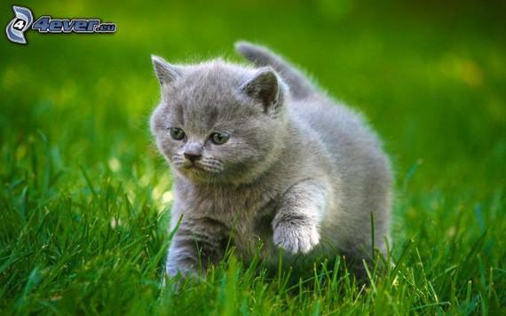 chaton BLUE