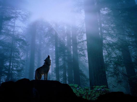 fond-ecran-animaux-loups-038