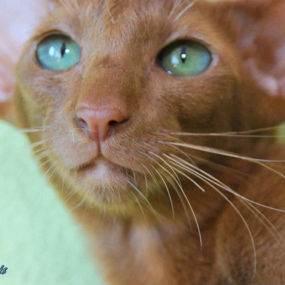 cinnamon_yeux_verts