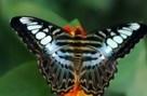 papillons_exotiques