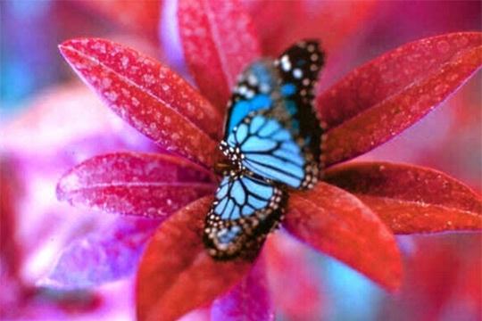 papillon bleu 392301 papillons exotiques o00oo00o photos club doctissimo. Black Bedroom Furniture Sets. Home Design Ideas
