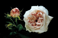 rose ancienne