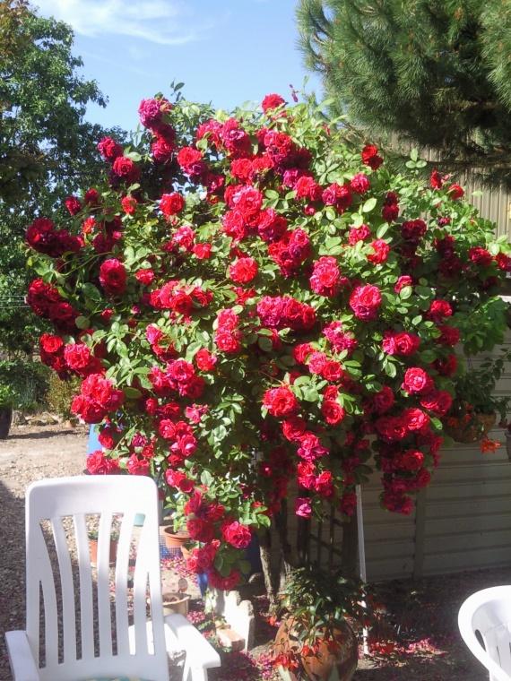 rosier belle mere