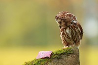 chouettes (8)