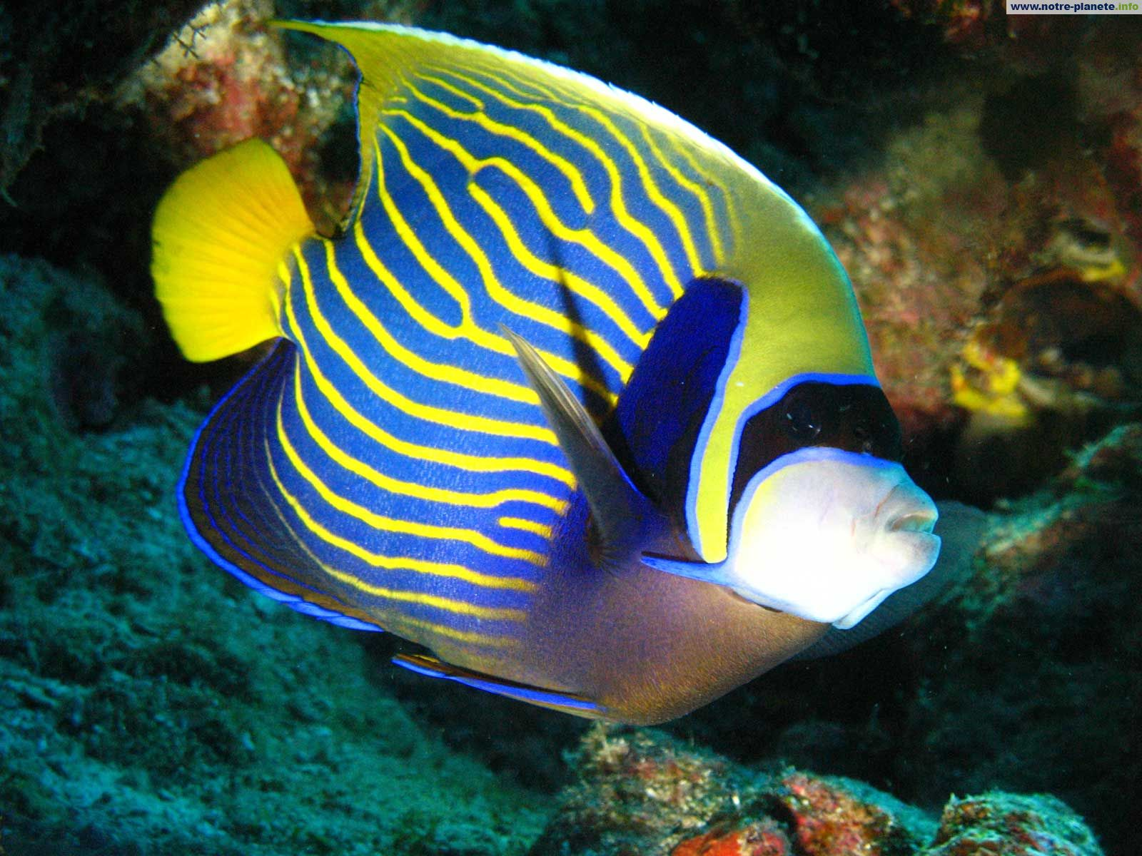poisson ange empereur - Fond d'écran - Kuldi i sal - Photos - Club ...