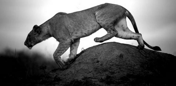 lionne noir et blanc - Fond d'écran - Kuldi i sal - Photos - Club ...