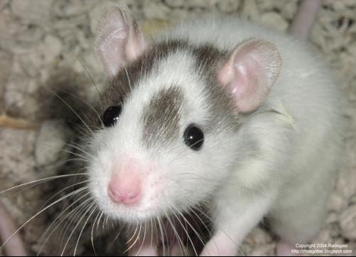 rat-sniffing-600