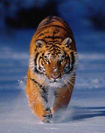 Blocage, dôme énergétique Mental, Sarcophage... Animaux-totemiques-tigre-neige-big