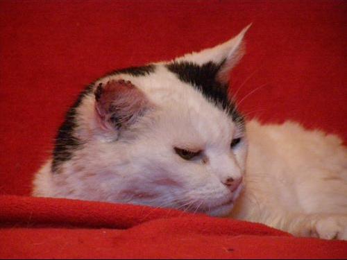 Besoin d 39 aide mon chat a une tumeur a l 39 oreille chats for Exterieur oreille qui gratte