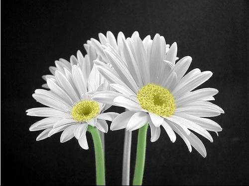 fleurscoloriees