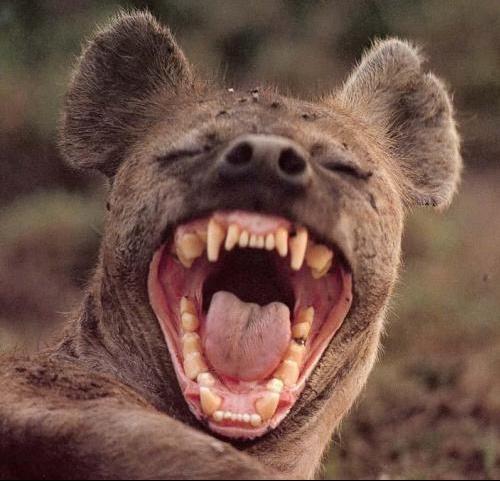 souriez-hyene
