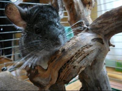 mon chinchilla sur une branche.jpg1.