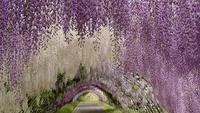 2-tunel-wisteria-japon