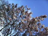 Magnolia en fleurs sur ciel azur, c'était aujourd'hui