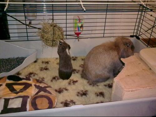 le roucoulement du chon hamsters cochons d 39 inde lapins forum animaux. Black Bedroom Furniture Sets. Home Design Ideas